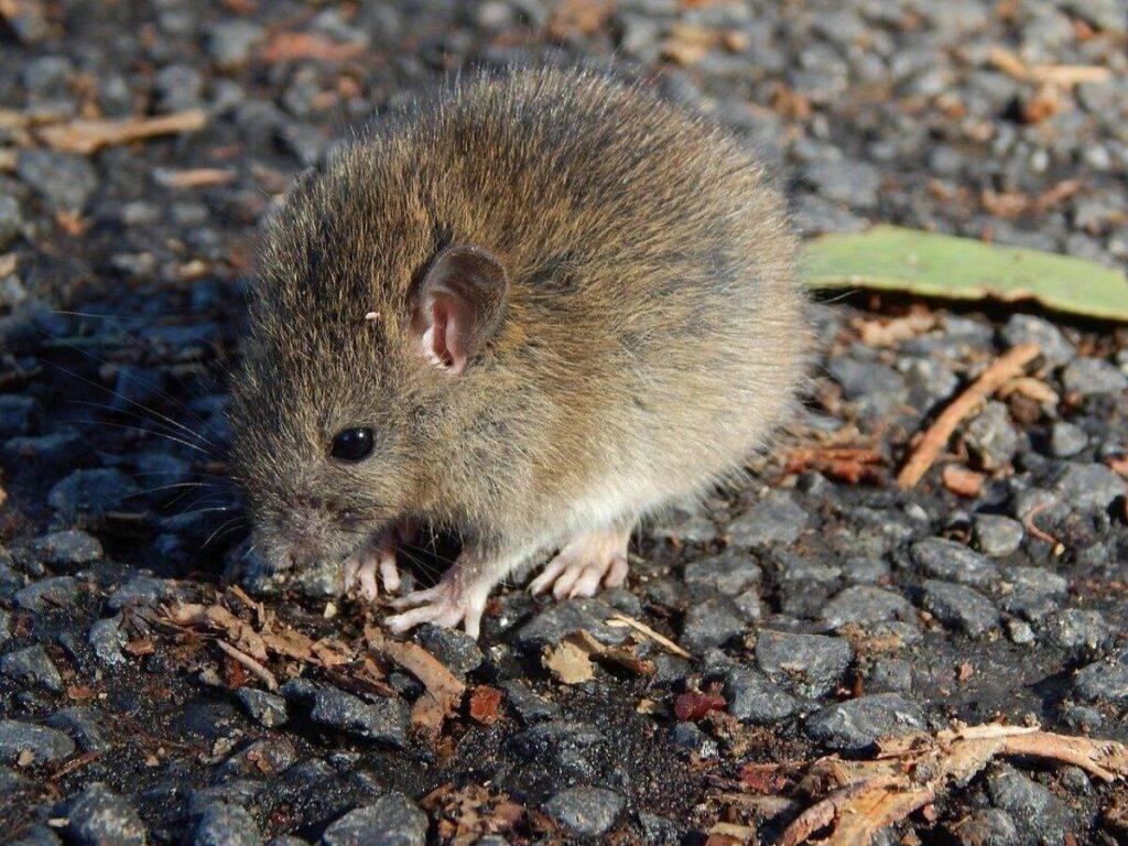 polinéziai patkány